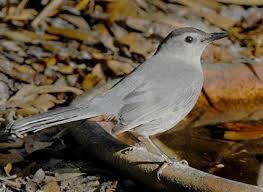 Florida Backyard Birds - gray catbird identification all about birds cornell lab of