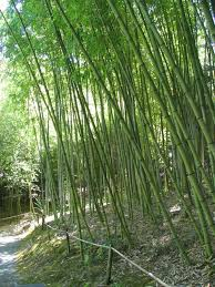 bambus fã r den balkon die besten 25 how to plant bamboo ideen auf bambus