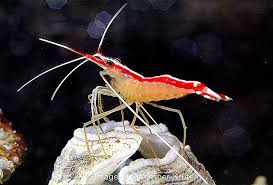 pacific cleaner shrimp saltwater fish finding nemo