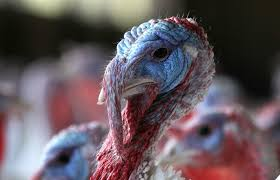 how many turkeys will be eaten on thanksgiving rei staples gamestop the companies staying closed for