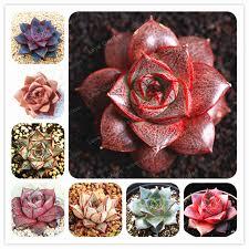 online shop 100 pcs echeveria purpusorum seeds fresh succulent