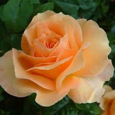 256 best roses images on pinterest plants flowers and garden roses