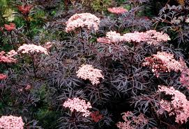 sambucus ornamental elderberry