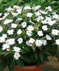Summer Garden Apartments - sunpatiens variegated spreading white lasts for three seasons