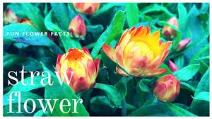 straw flowers flower facts strawflowers nunan florist greenhouses
