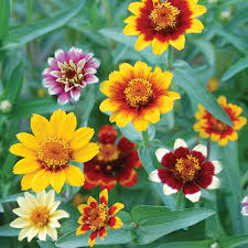 Zinnias Flowers Persian Carpets Zinnia Flower Seed Savers Exchange Backyard