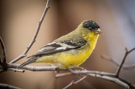 lesser goldfinches raise their winter profile the san diego