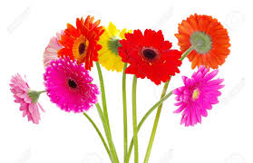 gerbera colors colorful gerberas on white background stock photo picture and