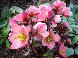 helleborus niger commonly called or black