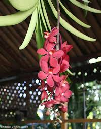 Red Orchids Red Orchids Vanda Casa Veneracion By Home Cooking Rocks