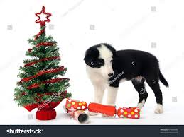 border collie pup with christmas tree and crackers stock photo