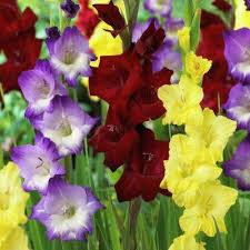gladiolus flowers gladiolus flower bulbs garden plants flowers the home depot