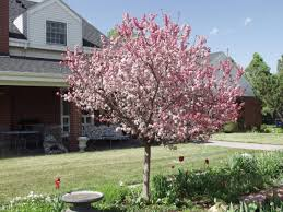 Profusion Flowering Crabapple - crabapples trees on the move