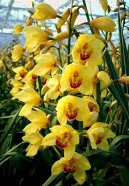 cymbidium orchids online wholesale bulk discount cut cymbidium orchid yellow