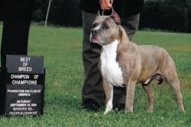 american pitbull terrier akc american staffordshire terrier litter announcements at the amstaff