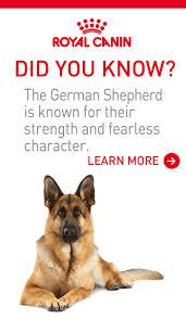 belgian sheepdog massachusetts find a pet find a dog allpaws