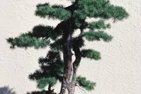 trees for bonsai saplings home guides sf gate