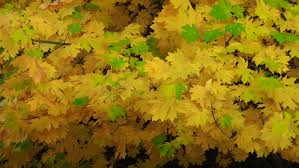 bigleaf maple fall color sierra nevada mountains northern