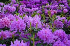 types of purple file rododendrenfield west virginia forestwander jpg