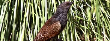 coucal