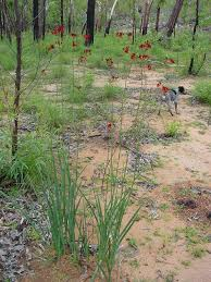 australian native plant society haemodorum coccineum wikipedia