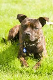 american pitbull terrier types types of pitbulls do you know the difference