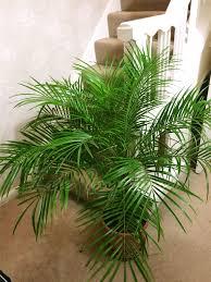 indoor palm phoenix roebelenii pygmy date palm pot indoor outdoor tree