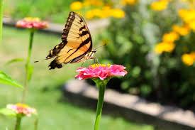 free stock photo of butterfly butterfly on a flower flower