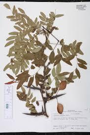 florida native aquatic plants gleditsia aquatica species page isb atlas of florida plants