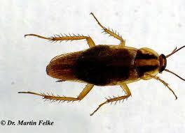hilfe gegen haushaltsschädlinge vitagate käfer hellbraun lange fühler beste inspiration für ihr interior