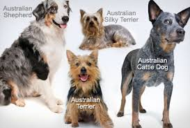 australian shepherd dogs 101 dog breeds quiz how well do you know your dog breeds