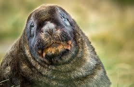 new zealand sea lion rapoka whakahao new zealand marine mammals