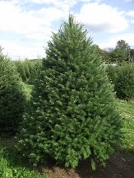 douglas fir pseudotsuga menziesii worcester county