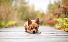 dog wallpapers gallery for chihuahua dog wallpapers chihuahua dog wallpapers top