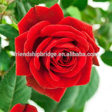 Roses For Sale High Quality Fresh Cut Flowers Red Roses For Wedding Buy Fresh