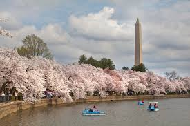 5 things you need to know about the national cherry blossom