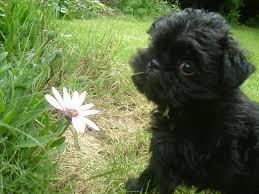 affenpinscher monkey dog affenpinscher puppies photo dog breeds puppies appearance and