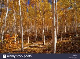 white birch trees in autumn colors skead ontario canada stock