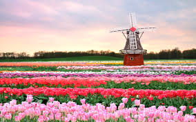 Flower Field Wallpaper - flowers mill field tulips pink spring flowers architecture