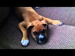 boxer dog youtube 56 best boxer dog images on pinterest boxer love animals and boxers