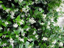 Most Fragrant Jasmine Plant - scented climbers for pergolas perfect pergolas blog perfect
