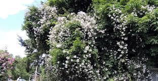 rose growing u0026 care u0027how to u0027 articles fertilize roses