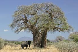 native plants of africa adansonia digitata wikipedia