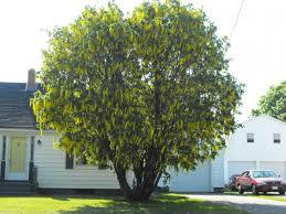 golden chain tree ornamental trees my secret garden