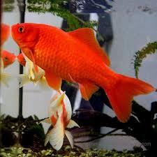 ornamental fish cyprinids carp family cyprinidae