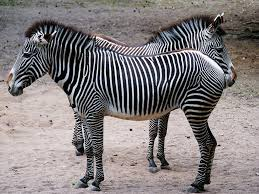 zebra pattern lumix animal zebra stripes black free photo on pixabay