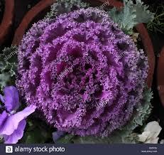 brassica oleracea var sabellica ornamental kale formerly var
