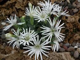 Scottish Rock Garden Forum Canula Morettiana Saxifraga Lewisia Douglasia Etc