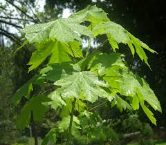 washington state native plants big leaf maple acer macrophyllum pacific northwest native tree