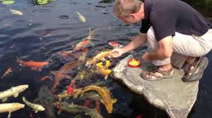 koi fish york pa koi pond care koi feeding splash supply co youtube